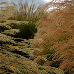 Grasses, Virginia (2009). Nicole Harper ©