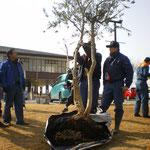 オリーブの木を植える準備