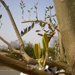 この木の最初の芽が出ていました