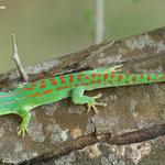 Männchen in Naturfarbe