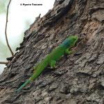 P.guimbeaui auf einem Blutholzbaum