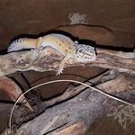 Leopardgeckos sind keine gute Kletterer :)
