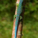 Männchen im Habitat auf Réunion