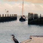 Aalscholver jachthaven Vlieland