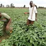 Anbau von Bohnen für eigene Ernährung auf 4 Hektar - aber die Ernte war schlecht und wir sorgen uns um die Erträge im kommenden Jahr