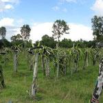 Feld mit Drachenfruchtbäumen, das bewässert wird