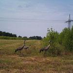 Kraniche mit Jungvogel