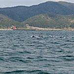 加太沖で回遊するイルカの群