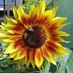 Sonnenblume Ferienhaus Reisinger