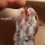 .....Ein Geniesser-Campbell, der erst seine Leckerbissen ableckt, bevor er sie verspeist: