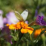 Бабочка на цветке. Крым