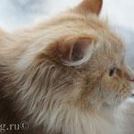 Рыжая кошка у окна