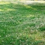 白詰草がいっぱい。