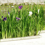 噴水広場近くに咲いていた菖蒲。
