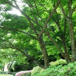 新緑の美しい紅葉