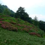 Alpenrosenfelder bei San Lucio