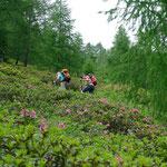 Aufstieg durch blühende Alpenrosenfelder