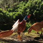 coq faisan et sa poule 60 cm