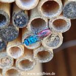 Kupfergoldwespe - Chrysis ignata: