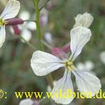 Bienenfutterpflanze