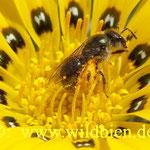 Hosenbiene - kurz vor dem Verlassen dieser Blüte