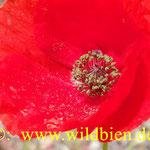 Mohnblüte - wichtige Bienenfutterpflanze wegen dem reichhaltigen Pollenangebot