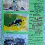 Präsentation: Plakat 3: Wildbienen - Fotos & Steckbriefe