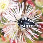Fleckenbiene der Kanaren: Thyreus histrionicus