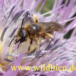 Furchenbiene auf Diestelblüte