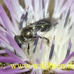 Wildbienen auf Diestelblüte