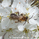 Erdbiene, Andrena ... auf Schlehe