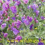 Natternkopf - wichtige Bienenfutterpflanze