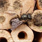 Gehörnte Mauerbiene - Osmia cornuta: Männchen gönnt sich eine Pause beim Schwärmen