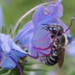 Natternkopf, Pflanze/Staude - Einzelblüte mit Natternkopf Mauerbiene als Besucherin