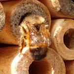 Rostrote Mauerbiene - Osmia bicornis: beim Mauern; das fertige Liniennest wird zugemauert! Damit wird sie ihrem Namen mehr als gerecht.