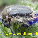 Käfer nimmt Sonnenbad