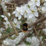 Wiesenhummel - Bombus pratorum; Königin sammelt Nektar auf Schlehe