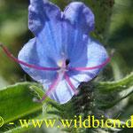 Natternkopf - Eichium vulgare: Blütenstand