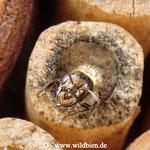 Hahnenfuss Scherenbiene - Osmia florisomnis: Männchen beim Schlüpfen