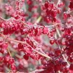 Ampfer - Blütenansicht