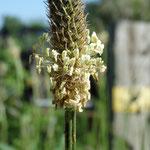 Spitzwegerich - Blütenstand