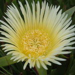 Blüte der Kristallmittagsblume - Mesembryanthemum crystallinum