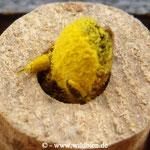 Mauerbiene, mit einer vollen Ladung an Blütenpollen beim Eintrag in ihr Nest; Proviant für den Nachwuchs