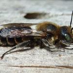 NatternkopfMauerbiene - Osmia adunca - Männchen/male