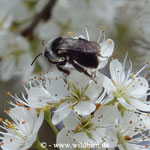 Aschgraue Erd- oder Sandbiene, Andrena cineraria an Schleheblüte