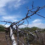 Totholz vom Feigenbaum