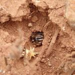 Nesteingang einer erdnistenden Wildbiene mit Bienenhinterteil