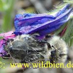 Käferpärchen - am Natternkopf in Paarungsstellung