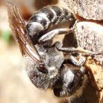 Natternkopf Mauerbiene  - erstellt Nestverschluss
