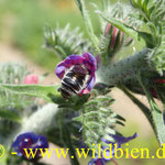 Natternkopf - Eichium vulgare mit Natternkopf Mauerbiene - Osmia adunca - oligolektisch; vom Aussterben bedroht